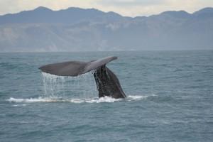 whale-tail-2-1399931-300x200